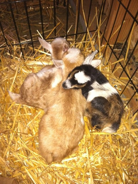 baby goats day 2