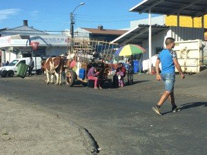 Oxen pulling a cart of seaweed near the market