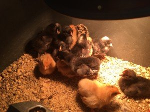 40 new layer chicks are residing in the garage brooders at the moment - hoping to increase our egg-selling capacity this year!